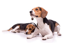 beagles_small